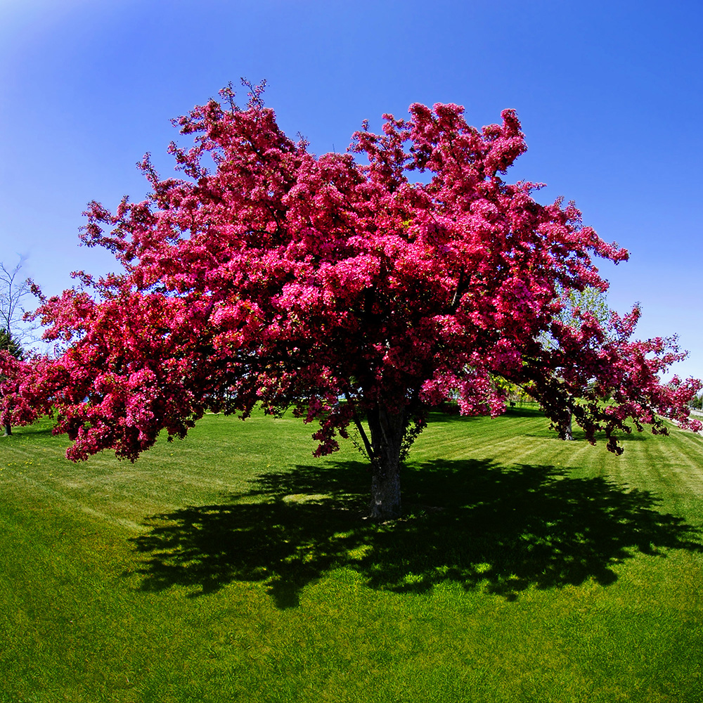 CrabApple Tree in Blooms - Native Trees of Ontario