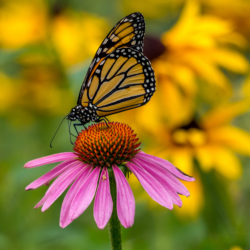 Echinacea & Monarch Butterfly - Native Plants of Ontario