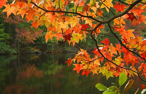 Fall colourful leaves maple