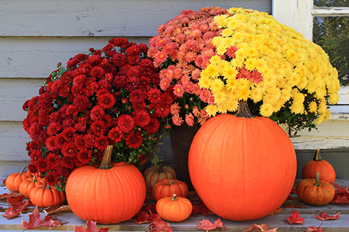 Colourful chrysthanthemums for fall decor