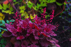 Coral Bells are a native Ontario plant that flowers in the late summer