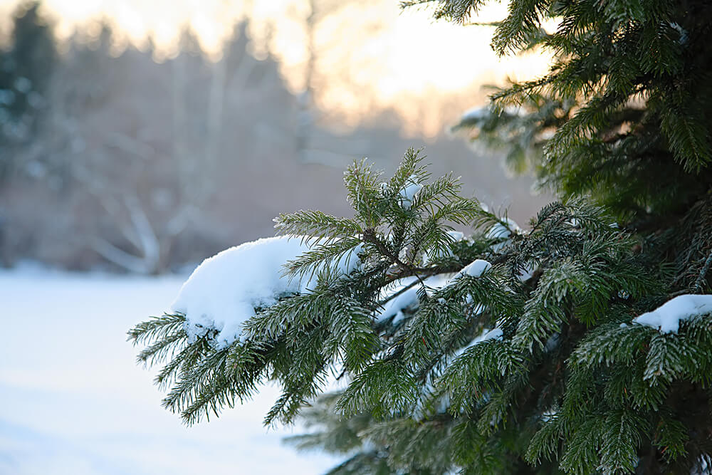 Evergreens for Year-Round Beauty and Function