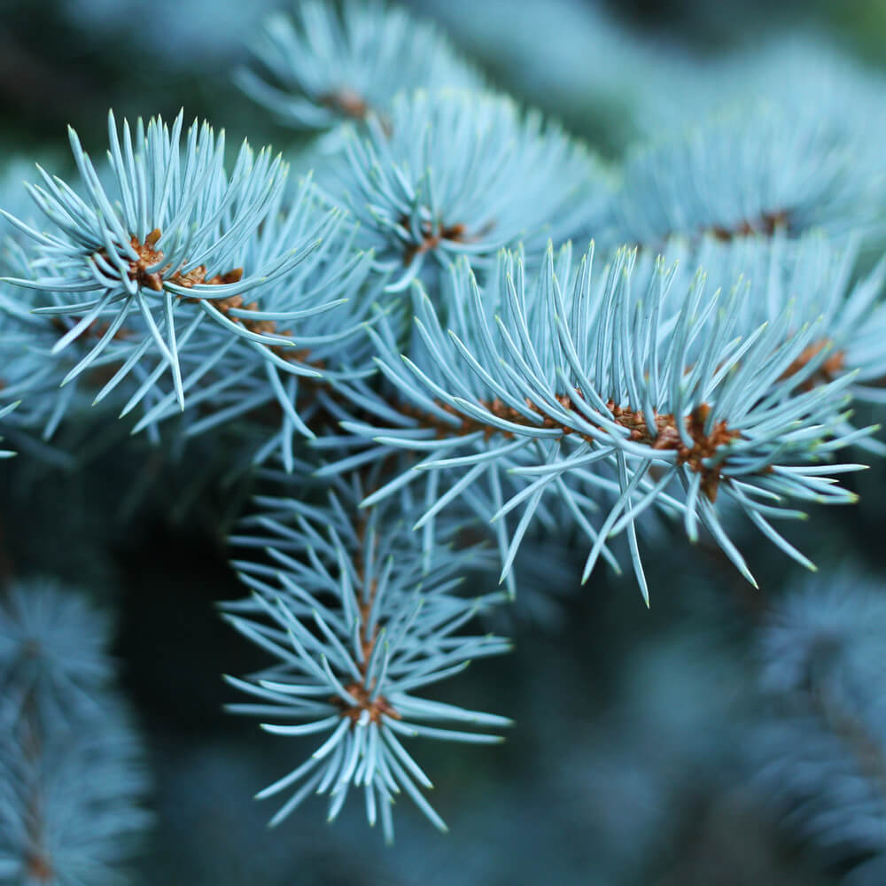 Beautiful blue needles of the Blue Spruce evergreen tree