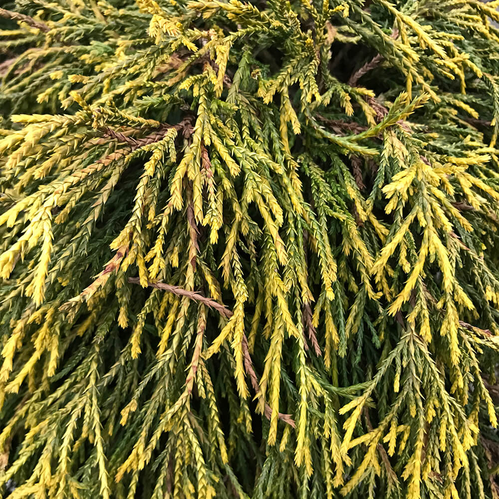 false cypress golden evergreen foliage